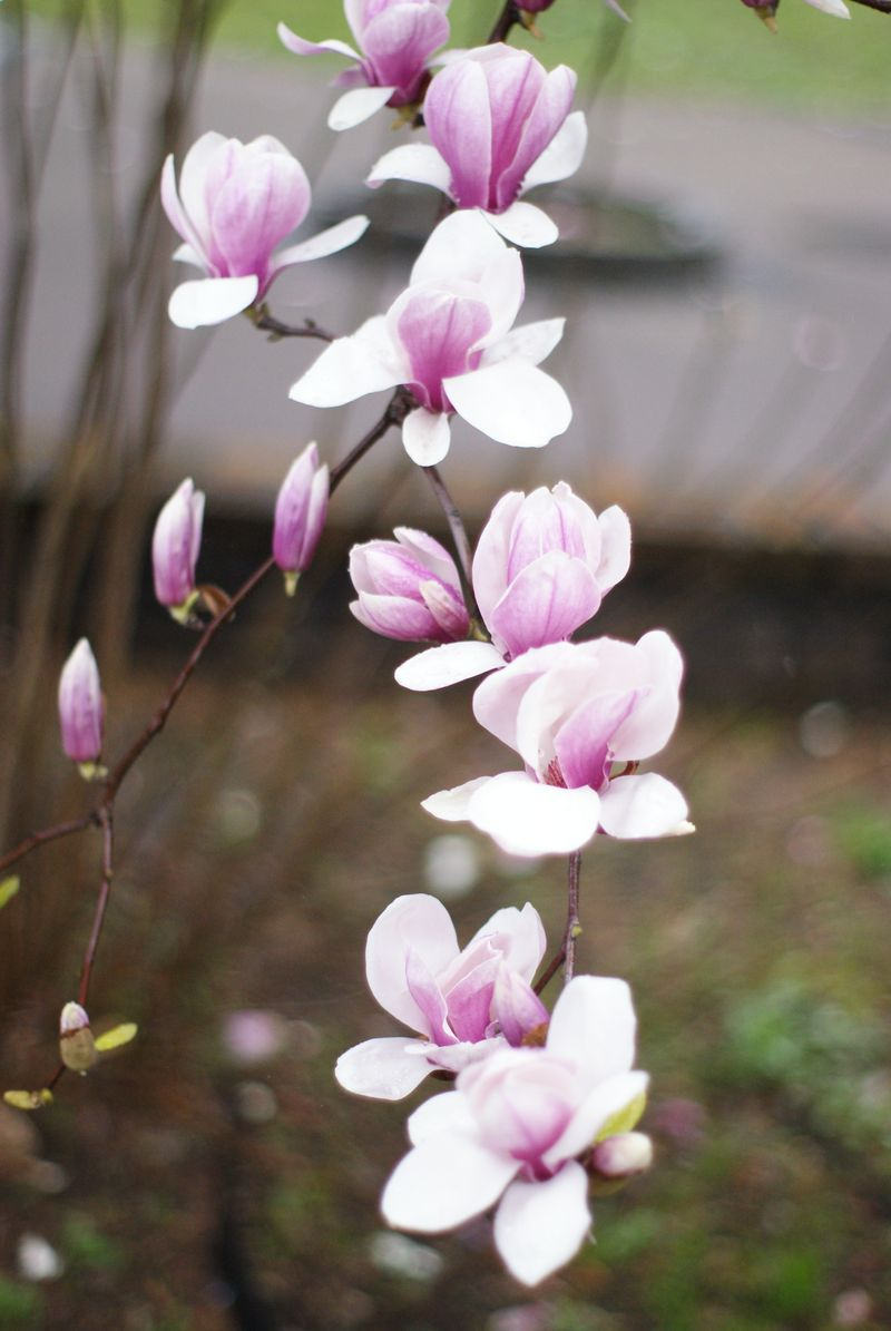 The Snowlady Chronicles Welcoming Spring In Tokyo With Magnolias